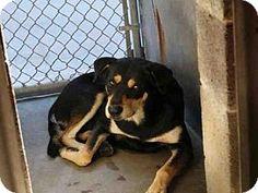 Mesa, AZ - Rottweiler Mix. Meet SHELBY, a dog for adoption. http://www.adoptapet.com/pet/17281618-mesa-arizona-rottweiler-mix
