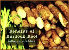 Burdock root benefits are numerous and exciting, especially since you can usually harvest it for free. Learn what it's good for and how to go about getting some.