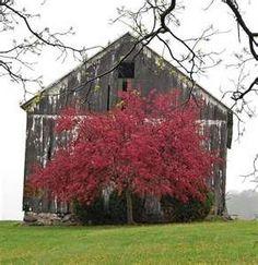 Old barn with dogwood tree.