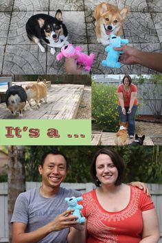 Baby gender reveal with corgis