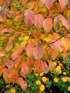 Korean stewartia A small, ornamental tree with some of the most spectacular fall foliage of any tree or shrub. Colors seem to change daily in a blend of gold, orange and scarlet. Produces white flowers with yellow centers in summer and develops attractive peeling bark as the tree ages.  Size: About 20 feet tall and 18 feet wide in 15 to 20 years. Grows fairly slowly.