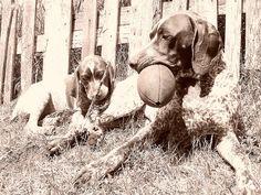 GSP - German Shorthaired Pointer - Puppy