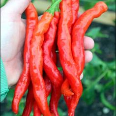 Hangjiao 7 Super Nova - Space Chilli - The Hippy Seed Company Chilli Seeds, Super Nova, Hippy, Chili, Stuffed Peppers, Space, Floor Space, Chile, Stuffed Pepper