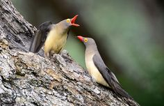 Piquebœuf à bec rouge - Red-billed Oxpecker (Buphagus erythrorhynchus). Red-billed Oxpecker (Buphagus erythrorhynchus) by Ian n. White on Fl...