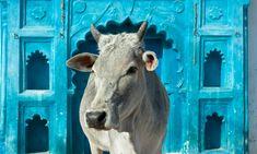 Indian holy cow in front of the tipical Indian house, Orchha, Madhya Pradesh, India Poster. Dalai Lama, Jaipur, Kerala, Sri Lanka, Breeds Of Cows, Taj Mahal, Vietnam, India Poster, Rome Antique