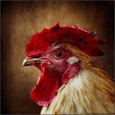 Farm Animals, Cute Animals, Art Puns, Rooster Art, Doodle Doo, Chickens And Roosters, Tier Fotos, Backyard Birds, Close Up Pictures