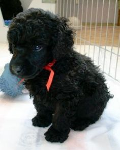 Dog breed:  Black Miniature Poodle  This is going to be my dog in getting next year. Edgar William Hunko DeBoer