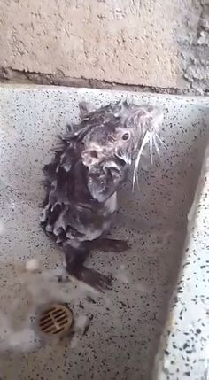 Hahaha Must watch. The Fury Bath time 😍 Guys must watch this video. Funny Animal Videos, Cute Funny Animals, Funny Animal Pictures, Animal Memes, Cute Baby Animals, Funny Cute, Animals And Pets, Cute Rats, Videos Funny