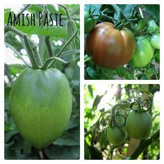 The Great Heirloom Paste Tomato Search: Mid-Season Report | Sweet Domesticity