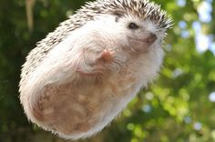 19 Pictures Of Hedgehog Bellies That Prove Everyone Has A Soft Side