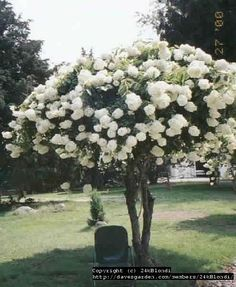 View picture of Panicle Hydrangea, Tree Hydrangea 'Grandiflora' (Hydrangea paniculata) at Dave's Garden.  All pictures are contributed by our community.