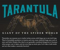 Tarantula: Giant of the spider world