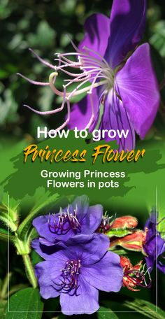 How to grow Princess Flower | Growing Princess Flower in pots