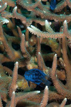 Damselfish In Staghorn Coral
