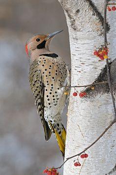 bird, birch tree | birch tree facts information on birch trees