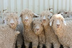 Texan Angora goats, Quince & Co's mohair source for dreamy laceweight Piper