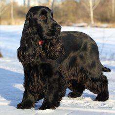 Perro Cocker Spaniel, Black Cocker Spaniel, Field Spaniel, Spaniel Breeds, Dog Breeds, Dog Best Friend, Cockerspaniel, English Cocker, Dogs And Puppies