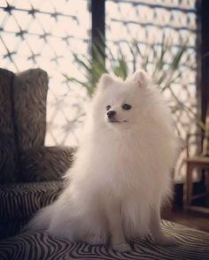 Pomeranians Dogs Is your pup among the smartest dogs in the world? - The smartest dog breeds in the world have been ranked by a psychologist who consulted 199 dog obedience judges. Is your pup among the brainiest in the world? American Eskimo Dog, White Pomeranian, Pomeranian Puppy, Micro Teacup Pomeranian, Cute Puppies, Cute Dogs, Dogs And Puppies, Lap Dogs, Cute Baby Animals