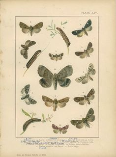 Antique Butterfly Print Cabbage Moth by MarcadeVintagePrints