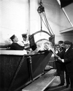 Belle Isle employees hoist a giant turtle out of its tank. This is likely Big Pete, which was sold during the Depression for meat because the aquarium could no longer afford to take care of him