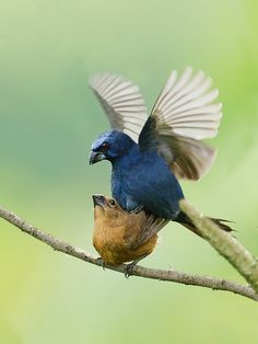 Photo Ultramarine Grosbeak (Cyanoloxia brissonii) by Ricardo Gentil | Wiki Aves - The Encyclopedia of Brazilian Birds