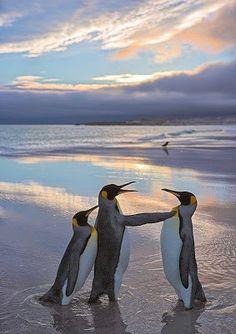 El Pinguino Emperador en peligro de extincion   Esta bella imagen de estos majestuosos pinguinos quiza en un futuro cercano no la veamos mas :-( No es ningún secreto que casi todas las especies de pingüinos están disminuyendo en número cada día, por varias las razones; entre ellas están la CAZA , los DERRAMES DE PETROLEO  y la DESTRUCCION DE SU HABITAT, el clima, y la falta de alimentos. Todos estos factores, han dejado a muchos de ellos vulnerables y a otros en riesgo de extinción