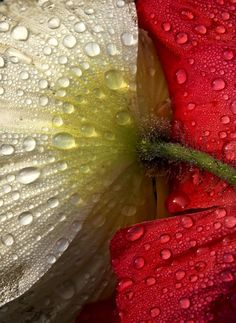 Poppies and morning dew Bellefield cropped by John Farrell on 500px #photography #flowers #nature #poppy #macro #dew