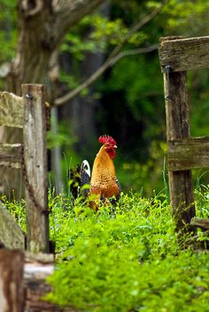 backyard chicken - people can keep chickens now in many urban areas, including Vancouver