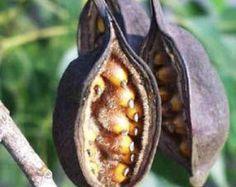 Σπόροι Βραχυχίτωνα