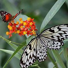 http://pixdaus.com/butterflies/items/search/24/?q=butterflies