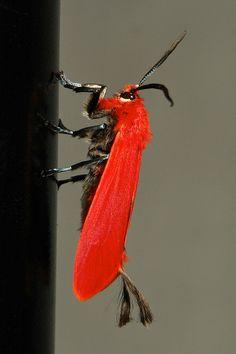 Male Scarlet Phaudid Moth (Phauda mimica, Phaudinae, Zygaenidae) | Flickr - Photo Sharing!
