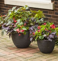 Color in the shade doesn't mean each plant has to be full of blooms. Here Pegasus Begonia, Surefire Red and Sweet Caroline Bewitched After Midnight will delight all summer long.