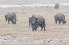 A massive Bison bull and others from his herd weather a snowstorm in Colorado. (© Tony's Takes)