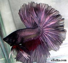 Purple OHM Betta With Redwash - very rare coloring