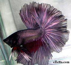 Purple OHM Betta With Redwash - very rare coloring