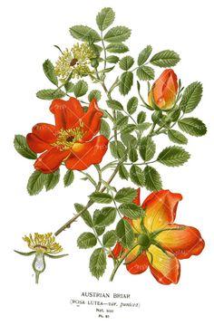 Austrian Briar Rose Ladies T-Shirt Botanical by BotanyPress