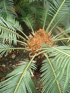 Ce sont des arbustes ou des arbres, dioïques, avec un port de palmier bien qu'ils ne soient pas parents. Les feuilles forment une couronne à l'extrémité du stipe. Elles sont pennées avec de jeunes folioles enroulées en crosse comme les frondes de fougères. On dit que la préfoliation est circinée. Cette caractéristique tient au fait que la base se différencie avant l'apex, c'est-à-dire que la croissance s'effectue par l'apex. Chez les Angiospermes au contraire la croissance est basale.