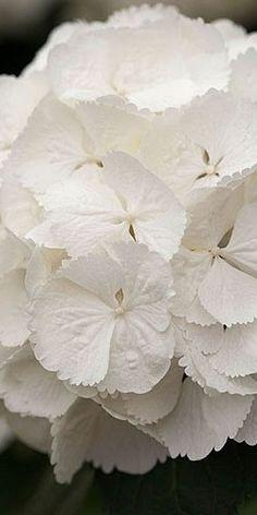 Snowball Hydrangea ~white