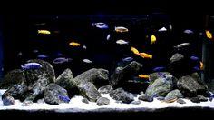 Cichlid hardscape Cichlid Aquarium, Cichlid Fish, Aquarium Fish Tank, Fish Tanks, Fish Aquarium Decorations, African Cichlids, Red Fish, Freshwater Aquarium, Tropical Fish
