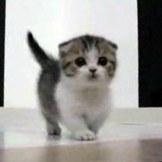 It's a Scottish fold Munchkin cat!