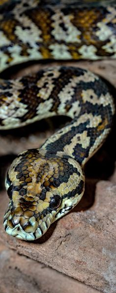 Picture of a carpet python Picture of a carpet python. Picture of a carpet python Pretty Snakes, Beautiful Snakes, Animals Beautiful, Cute Animals, Wild Animals Pictures, Animal Pictures, Snake Facts, Cute Snake, Australia Animals