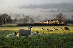 English Sunrise with Sheep | Content in a Cottage