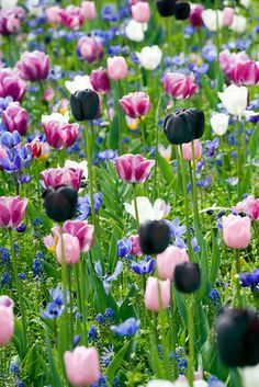 Buy tulip collection Tulip tapestry 'tulip collection': Delivery by Crocus Planting Tulips, Tulips Garden, Garden Bulbs, Garden Plants, Blooming Flowers, Spring Flowers, Front Garden Entrance, Beautiful Gardens, Beautiful Flowers