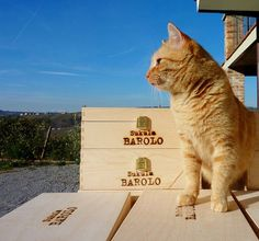 "Orange Cat at Sukula Winery, Piedmont, IT ""It's good to have land."""