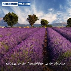 Fototapete Lavender field in Provence, France 309 cm x 400 cm East Urban Home Field Wallpaper, Tree Wallpaper, Scenic Wallpaper, Beautiful Places To Visit, Cool Places To Visit, Large Wall Murals, Paradise Garden, Landscape Wallpaper, Lavender Fields