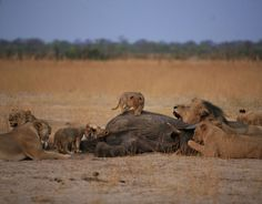 Cecil the lion and his family playing with their food at Hwange National Park in Zimbabwe Lion Family, Lion Pictures, Lovely Creatures, Kruger National Park, Cute Animals, Wild Animals, Beautiful Cats, Big Cats, Animal Kingdom