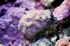 Los Angeles based photographer Felix Salazar shows in his images exactly how varied reefs can get. Through his close-up macro shots, Salazar is able to demonstrate that each single coral is an absolute beauty made up of many colors and various patterns. Fotografia Macro, Saltwater Tank, Saltwater Aquarium, Fishing Photography, Underwater Photography, Micro Photography, Aquariums, Photo Macro, Under The Ocean
