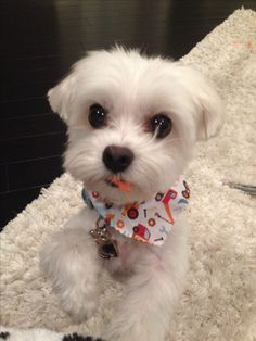 Adorable Maltese