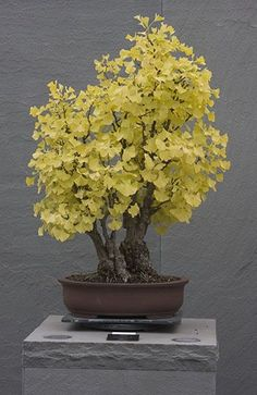 US National Arboretum-Ginkgo Bonsai Bonsai Acer, Bonsai Plants, Bonsai Garden, Garden Trees, Trees To Plant, Bonsai Trees, Cactus Plants, Plantas Bonsai, Pot Plante