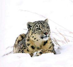 Animals And Pets, Cute Animals, Wild Animals, Snow Leopard Habitat, Alaska, Ghost Cat, Cat 2, All Gods Creatures, Here Kitty Kitty